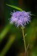 Blue Mistflower - Conoclinium coelestinum 1902(1).jpg