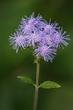 Blue Mistflower - Conoclinium coelestinum 1903(1).jpg