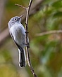 Blue-Gray Gnatcatcher 1101.jpg