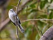 Blue-Gray Gnatcatcher 1103.jpg