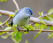 Blue-gray Gnatcatcher 1801.jpg