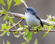Blue-gray Gnatcatcher 1802.jpg