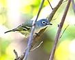 Blue-headed Vireo 1102.jpg