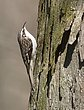 Brown Creeper 1301.jpg