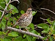 Brown Thrasher 1001.jpg