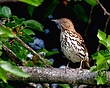 Brown Thrasher 1002.jpg