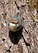 Brown-headed Nuthatch 1103.jpg