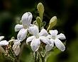 Bull Nettle-Cnidoscolus texanus 1201.jpg