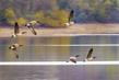 Canada Geese 2001.jpg