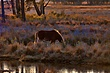 Chincoteague Ponies 1001.jpg