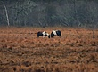 Chincoteague Ponies 1002.jpg