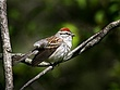 Chipping Sparrow  0107.jpg