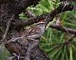 Chipping Sparrow  1001.jpg