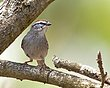 Chipping Sparrow 1302.jpg