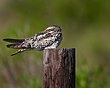 Common Nighthawk 1401.jpg