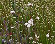Cotton Grass - Eriophorum angustifolium 1301.jpg