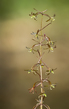 Cranefly Orchid - Tipularia discolor 1903.jpg