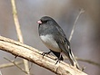 Dark-eyed Junco 0108.jpg