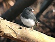 Dark-eyed Junco 0208.jpg