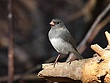 Dark-eyed Junco 0408.jpg