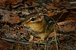 Eastern Chipmunk 0108.jpg