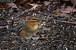 Eastern Chipmunk 0901.jpg