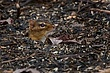 Eastern Chipmunk 0902.jpg