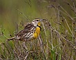 Eastern Meadow Lark 1101.jpg