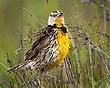 Eastern Meadow Lark 11021.jpg