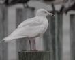 Glauccous Gull 1601.jpg