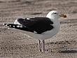 Great Black-Backed Gull 1201.jpg