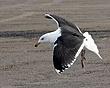 Great Black-Backed Gull 1203.jpg