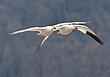 Greater Snowgeese 1301.jpg