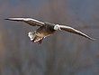 Greater Snowgeese 1304.jpg