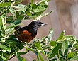 Orchard Oriole 1001.jpg