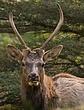 PA Elk 1204.jpg