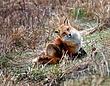 Red Fox 0803.jpg