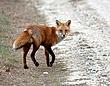 Red Fox 0805.jpg