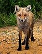 Red Fox 0902.jpg