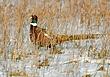 Ringnecked Pheasant 1301.jpg