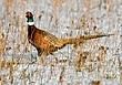 Ringnecked Pheasant 1302.jpg