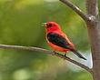 Scarlet Tanager 1001.jpg