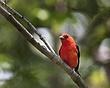 Scarlet Tanager 1003.jpg
