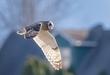Short-eared Owl 2001.jpg