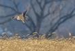 Short-eared Owl 2002.jpg