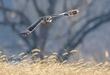 Short-eared Owl 2003.jpg