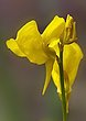 Horned Bladderwort - Utricularia cornuta  1401.jpg