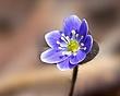Anemone americana - Round-lobed hepatica- Hepatica nobilis var obtusa - blue 1201.jpg