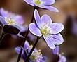 Anemone americana - Round-lobed hepatica- Hepatica nobilis var obtusa - lavender 1201.jpg
