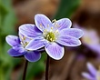 Anemone americana - Round-lobed hepatica- Hepatica nobilis var obtusa - lavender 1202.jpg